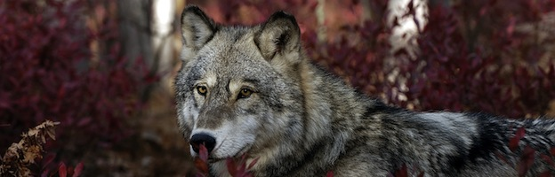 Wolf Anatomy