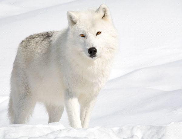 Arctic wolf in snow - photo#7