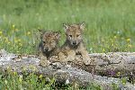 Cute Wolf Cubs In Flower Field