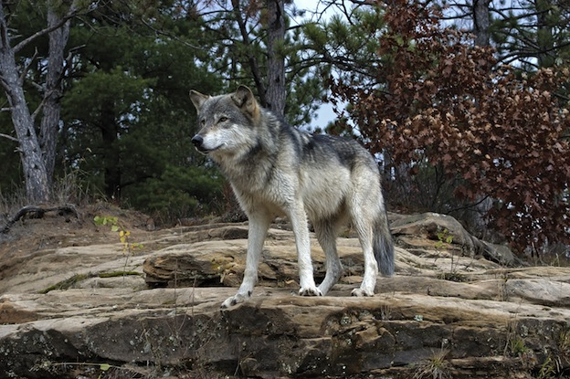Common Wolf information