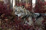 Gray Wolf In Fall Foliage