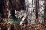 Gray Wolf Prowling In Forest