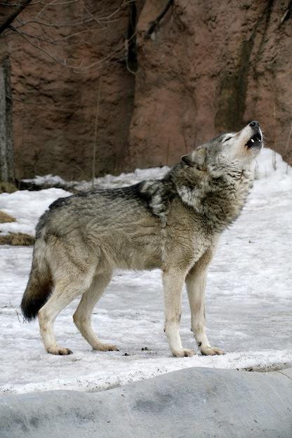 Vocalizaciones de los lobos.