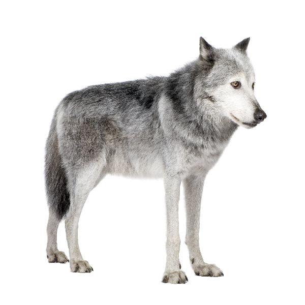 Mackenzie valley wolf - photo#11