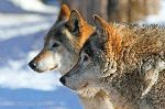 Two Grey Wolves - Canis Lupus