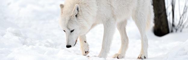 Wolf Body Language