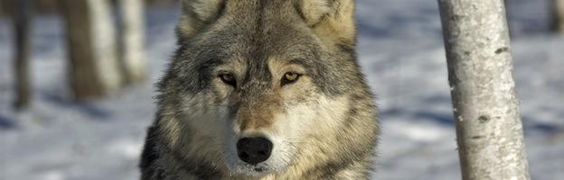 Vídeos Sobre Lobos