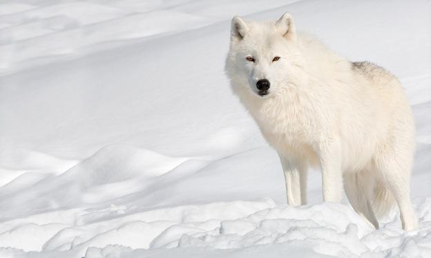 Wolf habitat and distribution