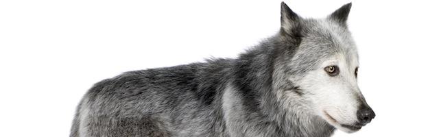 Wolf Species