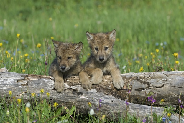 Wolf Reproduction facts