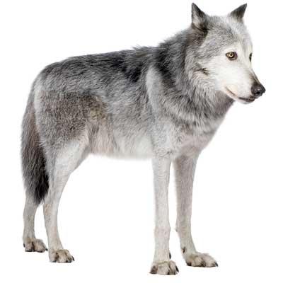 Información de los lobos