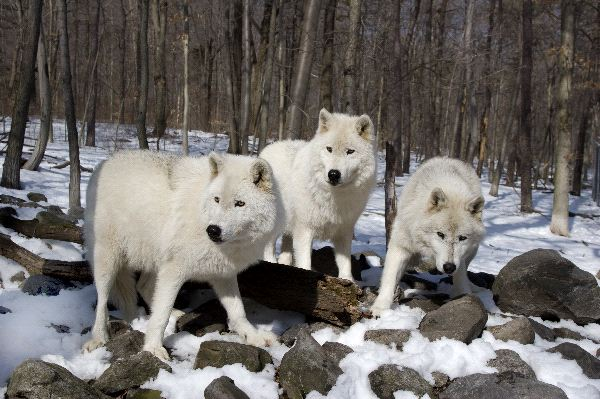 3 Arctic Wolves Standing In The Snow