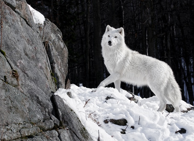 Arctic Wolf Facts