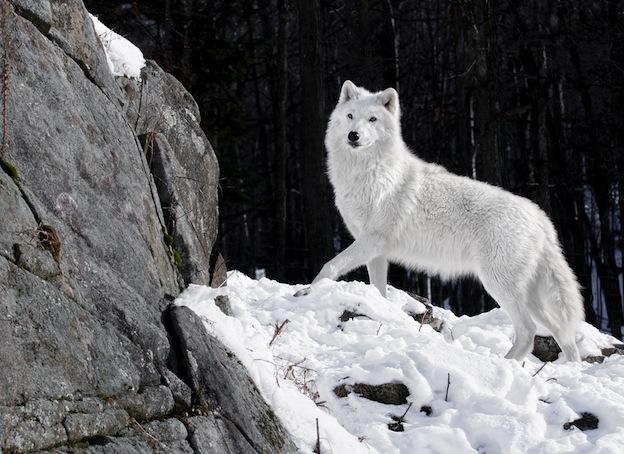 Información sobre el lobo ártico