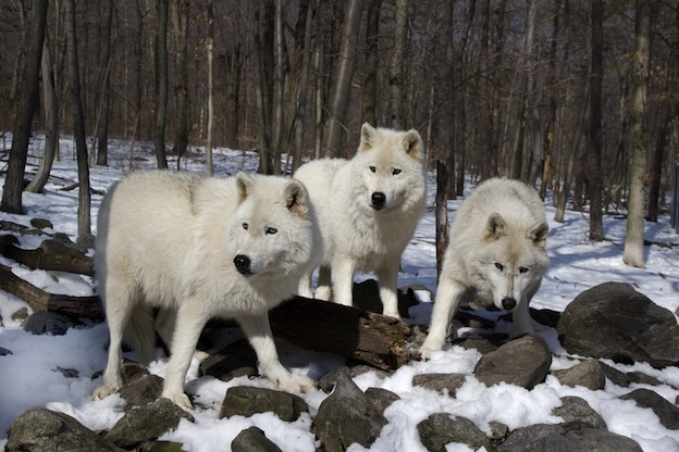 Arctic Wolf pack in their natural habitat