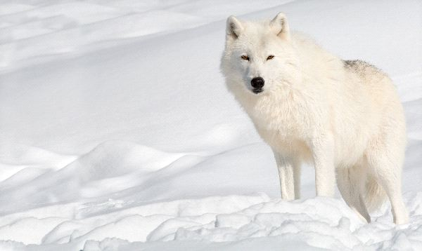 Arctic Wolf Camouflaged In Snow