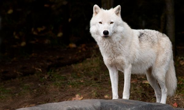 Arctic Wolf Or Polar Wolf