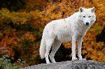 Lobo Ártico Posando Sobre Una Roca