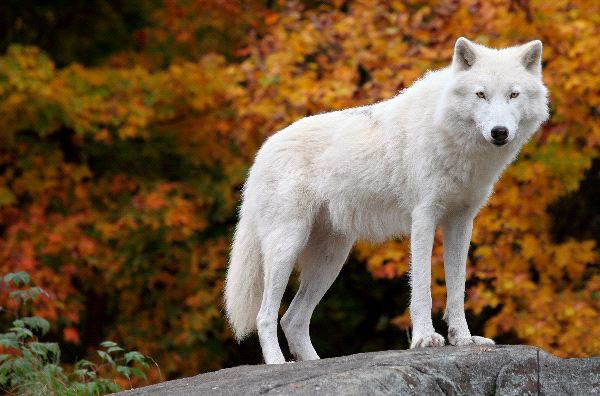 Arctic Wolf Posing On a Rock