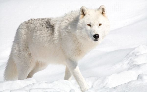 Beautiful Arctic Wolf in Alaska