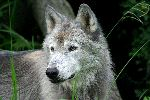 Close Up A Un Hermoso Lobo Gris