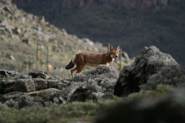 Ethiopian Wolf Watching The Camera