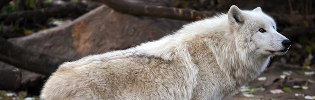 Datos sobre los Lobos