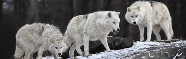 Alimentación de los Lobos