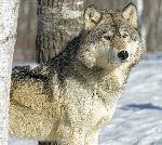 Lobo Gris En Un Bosque Durante El Invierno