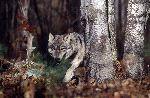 Lobo Gris Merodeando En El Bosque