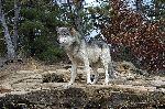 Lobo Gris Cuidando Su Territorio