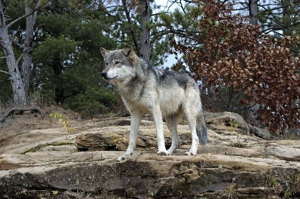 Gray Wolf Watching Their Terrain