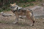 Lobo Mexicano En Sonora, México
