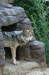 Mexican Wolf Peering Out Of Den