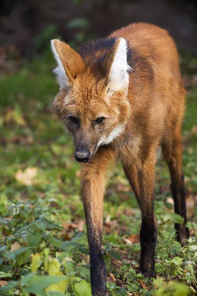 Red Wolf Walking