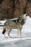 Russian Siberian Wolf Howling