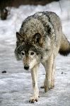 Lobo Ruso En Un Campo Nevado