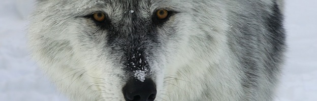 Wolf Territorial Behavior and Dispersion