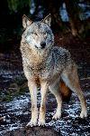 Lobo En Su Hábitat Natural