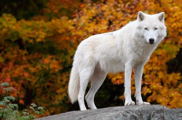 Anatomía de los Lobos - Lobos Información y Características