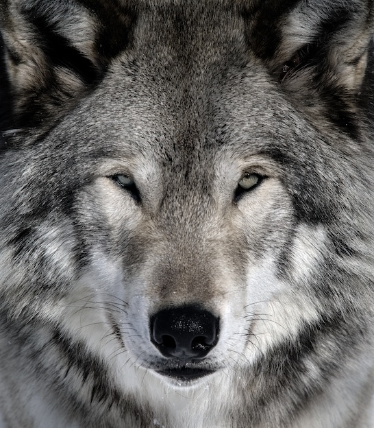 Close-up portrait of a gray wolf