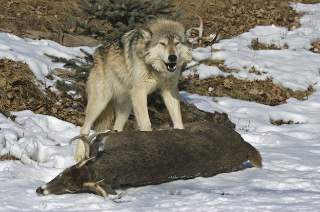 How Do Gray Wolves Eat Their Food