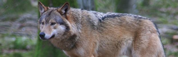 Lobos en Peligro de Extinción