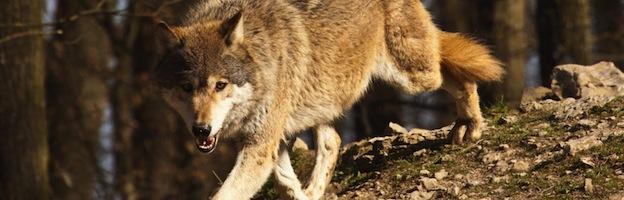 Hábitat de los Lobos