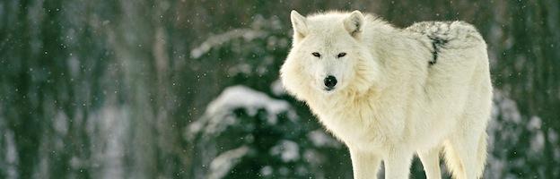 Conservación del Lobo