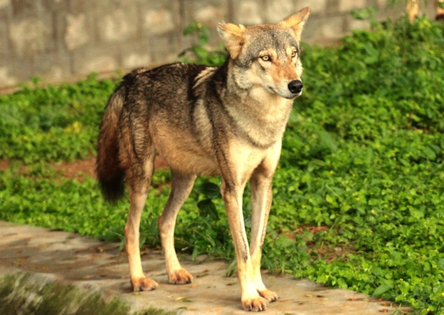 Indian Wolf Facts