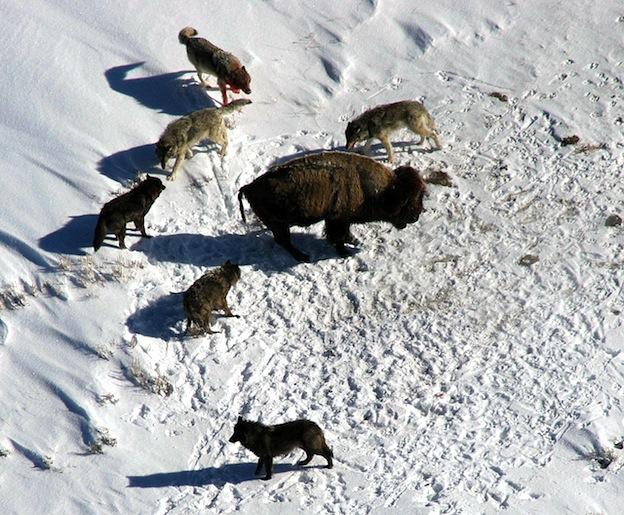 Lobos y técnicas de caza.