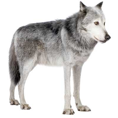 Wolf Facts And Information