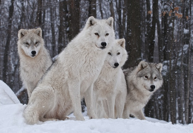 Wolf social structure facts
